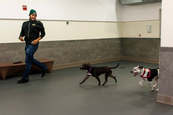 Frito and King, dogs seized by the NYPD as part of animal cruelty investigations, receive medical treatment and behavioral enrichment at the ASPCA Gloria Gurney Canine Annex for Recovery & Enrichment Ward in New York City. Dogs are pictured utilizing one of two spacious exercise rooms used for daily exercise and training sessions.
