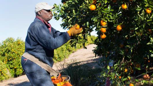 A worker picks oranges in a grove near Winter Garden, Florida.
