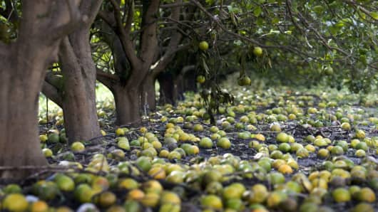 Oranges lie rotting on the ground in a field, after a hurricane tore through the area causing extensive damage to the state's citrus crop. (File photo).
