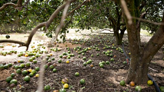 Fruit sits on the ground below an orange tree at the Alico Inc. Lake Patrick Grove in Frostproof, Florida, Sept. 11, 2017.