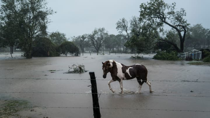 A horse wades through water on a ranch as Hurricane Harvey hits the Texas coast, in Victoria, TX on Saturday, Aug 26, 2017.