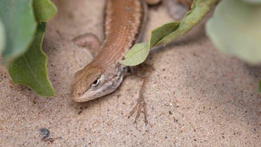 Dunes sagebrush Lizard.