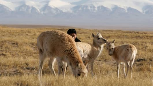 A forest policeman of Kekexili Nature Reserve with Tibetan antelopes at a wild animal rescue center on April 21, 2005 in Chengduo County of Qinghai Province, China.