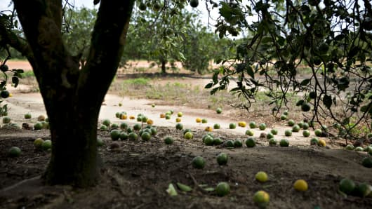Fruit sits on the ground below an orange tree at the Alico Lake Patrick Grove in Frostproof, Florida.