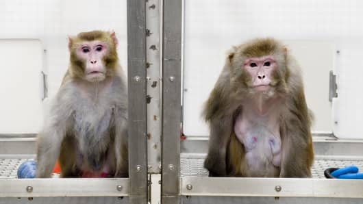 A rhesus monkey on a calorie-restricted diet (left) and a control group monkey (right) who were subjects in a pioneering long-term study of the links between caloric restriction and aging at the University of Wisconsin's Wisconsin National Primate Research Center.