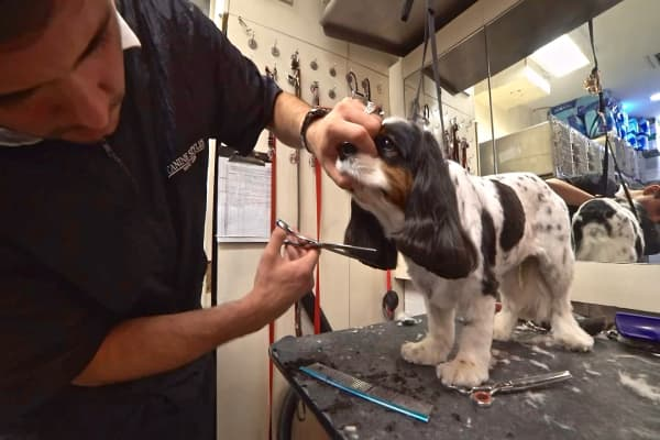 A Cavalier King Charles Spaniel getting a haircut in the spa at Canine Styles
