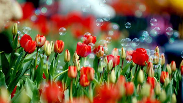 The tulip craze happened in the Netherlands in the seventeenth century where the price of the flower skyrocketed. The result was a crash of that market in 1637.