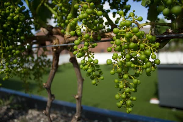 Baby grapes being grown on a rooftop in Brooklyn. The first-ever rooftop vineyard brings the idea of urban agriculture to the wine industry. Rooftop Reds expects 30 cases of the bottles to be ready in 2019.