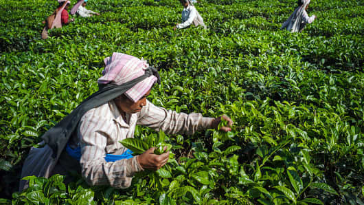 Workers hand-pick tea leaves at the Simulbari Tea Estate in Darjeeling district, West Bengal, India, on Dec. 7, 2015.