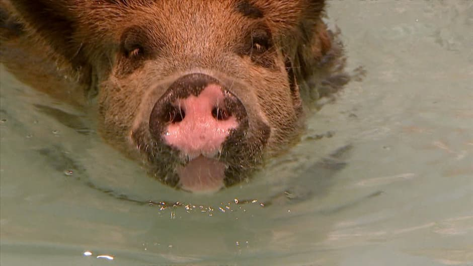 You can swim with pigs off this island in the Bahamas