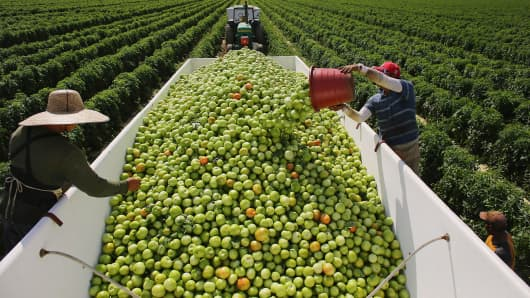 Workers fill a trailer with tomatoes as they harvest them in the fields of DiMare Farms on February 6, 2013 in Florida City, Florida.