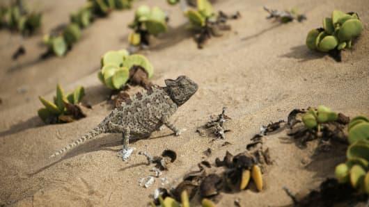 A Namibian desert chameleon on the outskirts of Swakopmund, Namibia.
