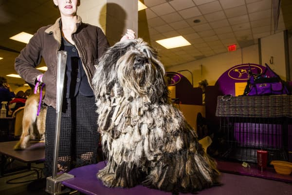 Faggia, a Bergamasco Shepherd, is groomed at the 142nd Westminster Kennel Club Dog Show in New York, U.S., on Monday, Feb. 12, 2018.