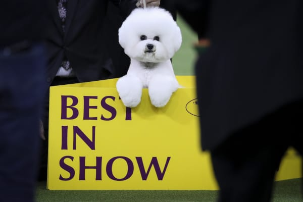Best in Show winner Flynn, a Bichon Frise, poses for photos at the conclusion of the 142nd Westminster Kennel Club Dog Show at The Piers on February 13, 2018 in New York City.