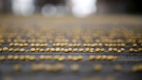 Soybeans in US-China trade war crosshairs