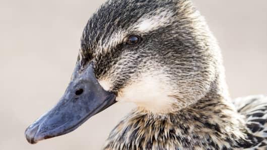 Close-up portrait of a female Mallard duck (Anas platyrhynchos). Tablas de Daimiel, Spain.
