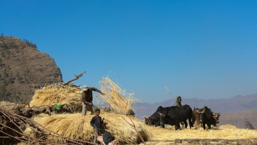 Ethiopian farmers threshing grain with bullocks on January 18, 2017, in Lalibela, Ethiopia.