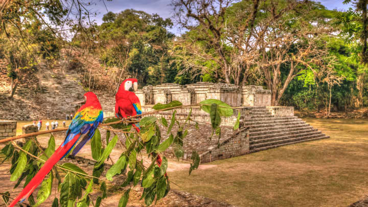 Scarlet macaws at the Mayan Ruins of Copan, Honduras.