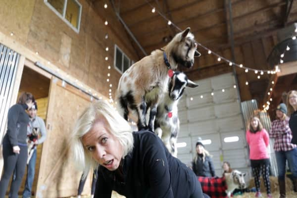 Why goat yoga is a thing