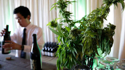 A marijuana plant is pictured as a bartender opens wine at a cannabis food event in Tacoma, Washington.