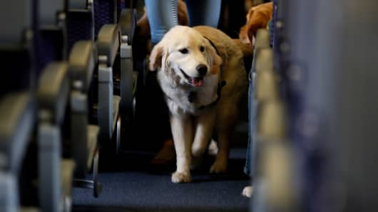 A service dog strolls through the isle inside a United Airlines plane at Newark Liberty International
