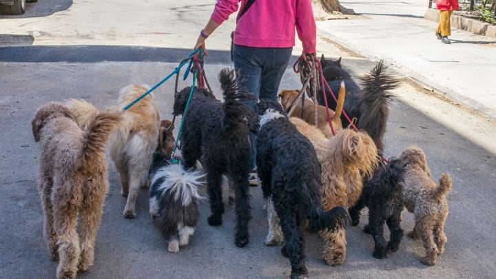 A professional dog walker holds the leashes for 13 dogs in the Brooklyn borough of New York City.