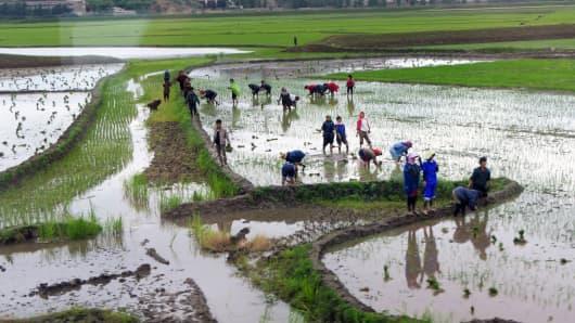 Rice field near Pyongyang, North Korea.