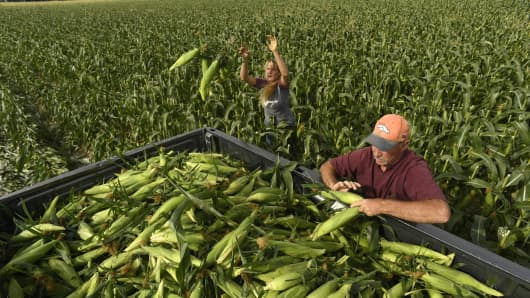 Farmers hand pick sweet corn on in Olathe, Colorado.