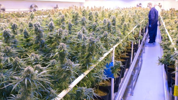 A Tilray grow room