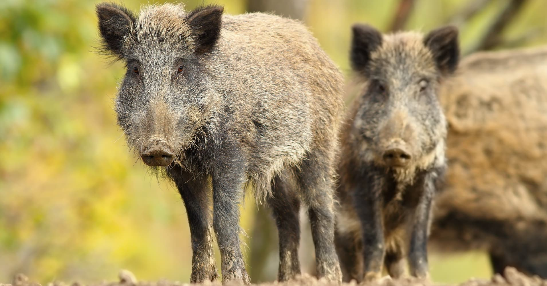 Hogs Run Wild But Usda Doubling Efforts To Fight Problem