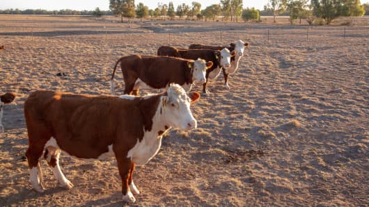 Hereford Grass fed beef cattle heifers in drought in rural NSW Australia waiting for feed.
