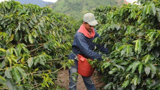 A coffee picker, hand picks the beans, in a farm in Combia, Risaralda.