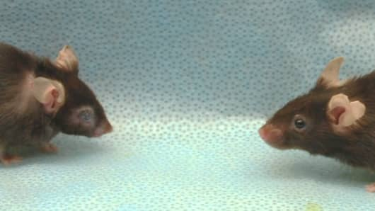 Mouse with senescent cells (right) has delayed the aging process while the untreated mouse on the left suffers from a bent spine and cataract formation.