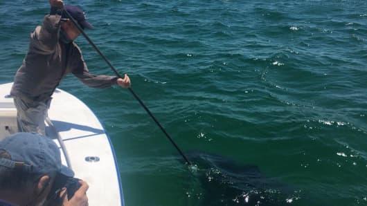 Biologist Greg Skomal tags a shark