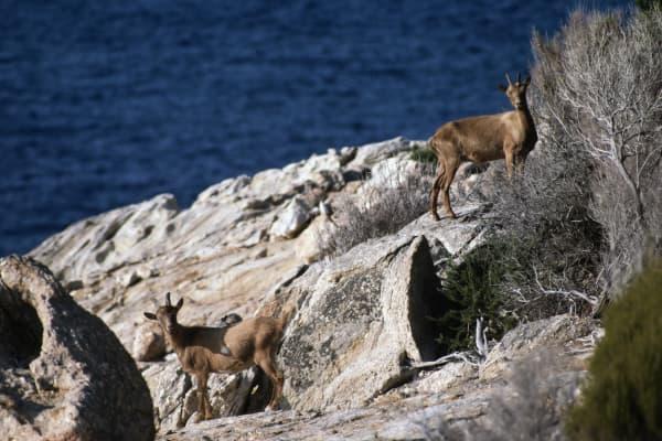 Wild goats (Capra aegagrus hircus), Montecristo island, Tuscan Archipelago National Park, Tuscany, Italy.