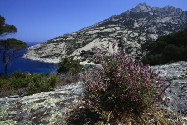 Vegetation near Cala Maestra, Montecristo island, Tuscan Archipelago National Park, Tuscany, Italy.