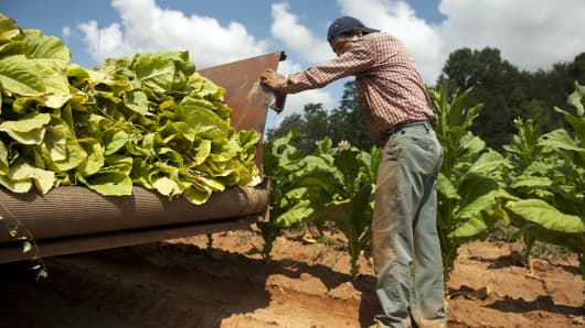 A file photo of tobacco leaves harvested in Kernersville, North Carolina.