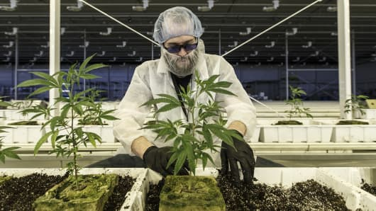 An employee tends to marijuana plants at the Aurora Cannabis Inc. facility in Edmonton, Alberta, Canada, on Tuesday, March 6, 2018.