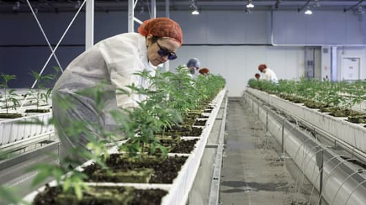 Employees tend to marijuana plants at the Aurora Cannabis Inc. facility in Edmonton, Alberta, Canada, on Tuesday, March 6, 2018. Aurora CEO Terry Booth and his business partner Steve Dobler are the largest individual holders of Canada's second-largest marijuana firm, with a combined stake approaching C$200 million.