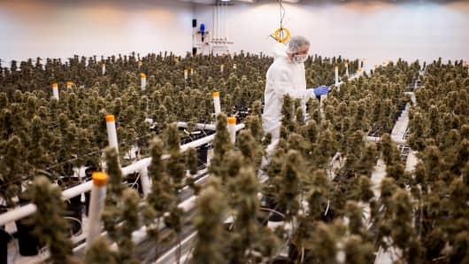 An employee checks nearly matured medical marijuana plants in a climate controlled growing room at the Tweed Inc. facility in Smith Falls, Ontario, Canada, on Nov. 11, 2015.