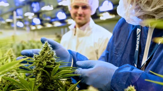A worker examines cannabis plants at a Tilray farm.