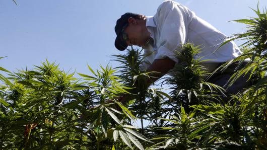 A farmer in a field of cannabis plants.