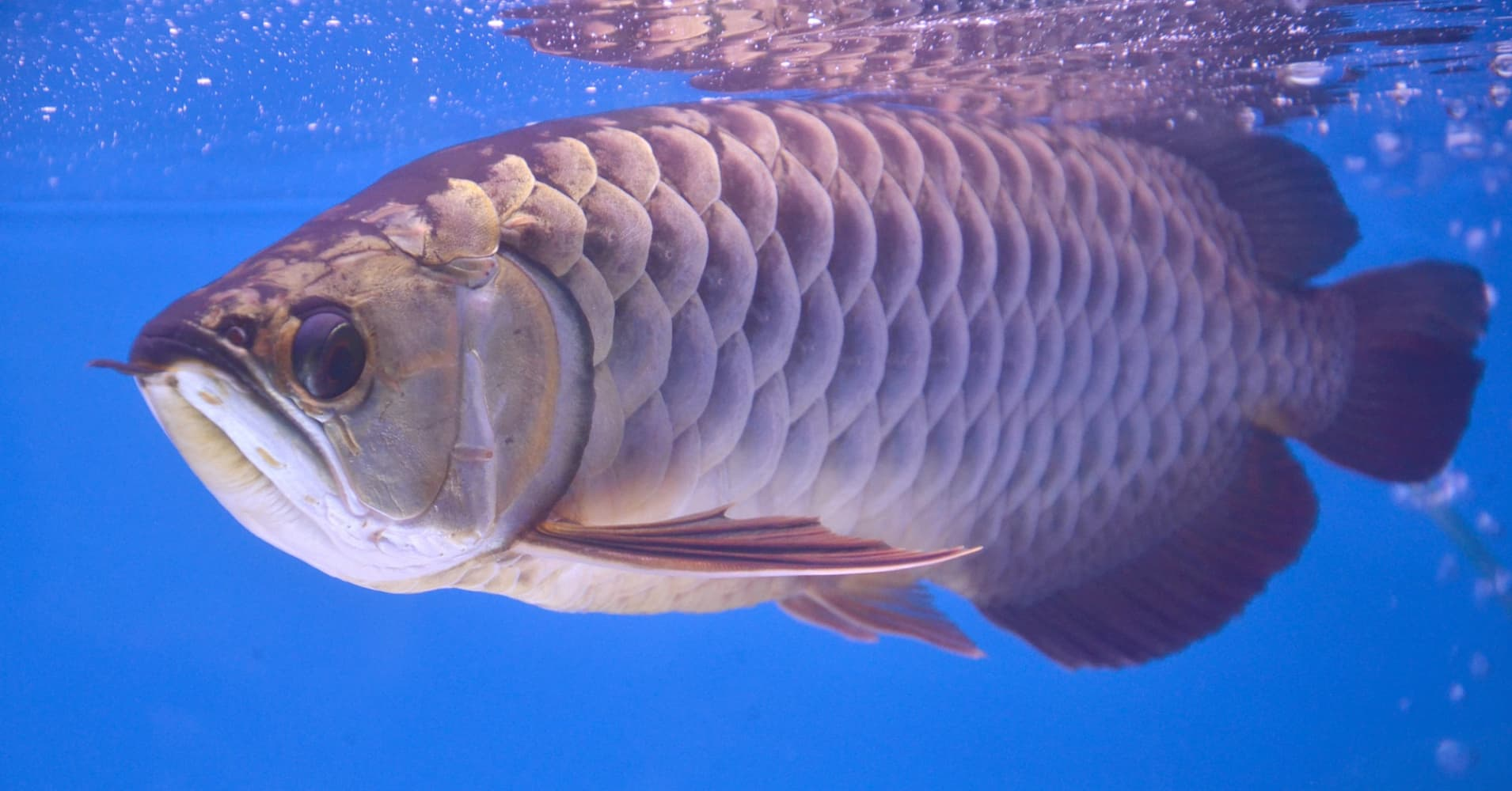 With its dragon shaped body and colorful scales, the Asian arowana has been dubbed Asia's favorite fish.