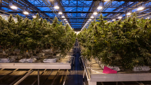 Cannabis plants grow at the CannTrust Holdings Inc. production facility in Fenwick, Ontario, Canada, on Monday, Oct. 15, 2018.