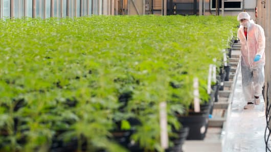 Colleague Martin Henderson walks past several cannabis plants on October 12, 2018, at Up's cannabis plant in Lincoln, Ontario.