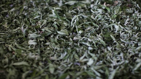 Marijuana surge: Opportunities and risks