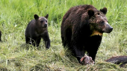 A grizzly bear and her cub