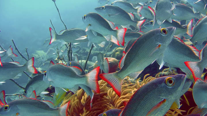 School of fish in Ambergris Caye, Belize.