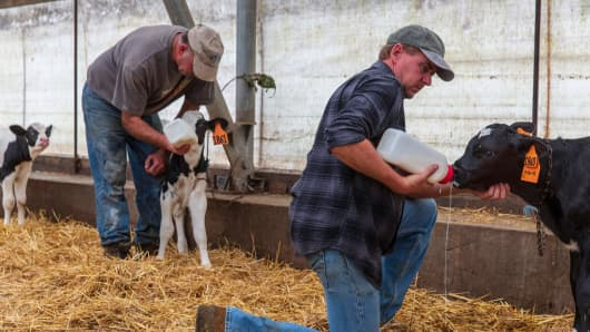 Seasonal farm workers feed newborn calves in Bill Sorg's dairy farm in Hastings, Minnesota, on October 3, 2018.