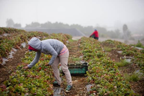 Laborers pick strawberries at J.R. Organics Farm in Escondido, California, in 2014.